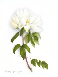 grande-pivoine-blanche-aquarelle-vincent-jeannerot-copie