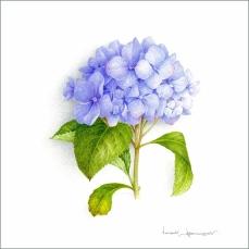 hortensia-bleu-aquarelle-vincent-jeannerot-copie