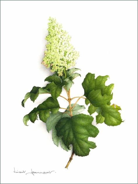 hydrangea-blanc-aquarelle-vincent-jeannerot-copie