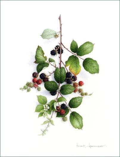 mures-d-ete-aquarelles-botaniques-vincent-jeannerot-copie